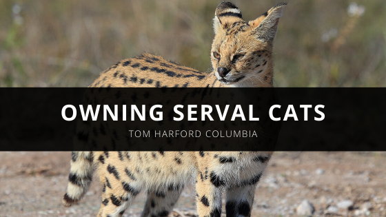 Exotic Pet Expert Thomas Harford Columbia Shares His Advice About Owning Serval Cats
