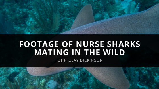 Local Divers Rachel McGinnis and John Clay Dickinson Capture Footage of Nurse Sharks Mating in the Wild